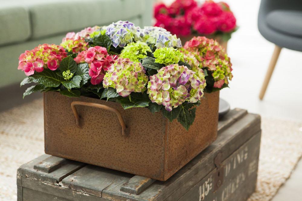 Haal fleur en kleur in huis met Hortensia's