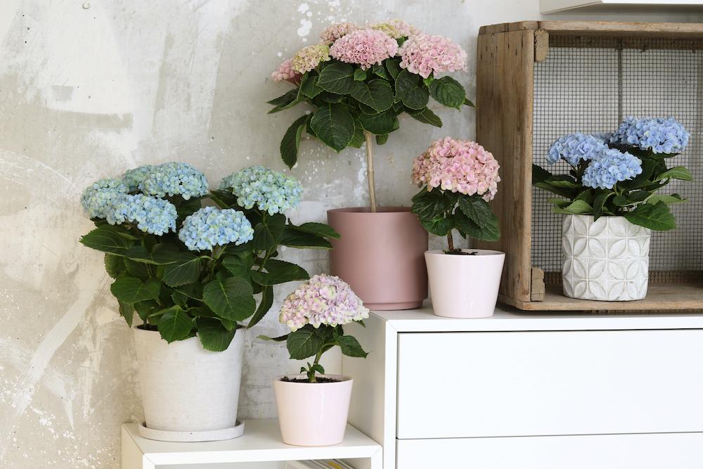 Styling ID tips en trends, Nieuw voor binnen- De Hortensia in de vorm van een boompje 3