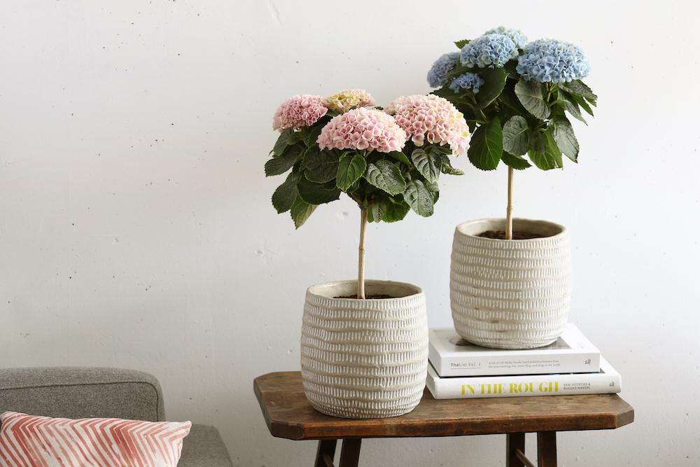 Styling ID tips en trends, Nieuw voor binnen- De Hortensia in de vorm van een boompje