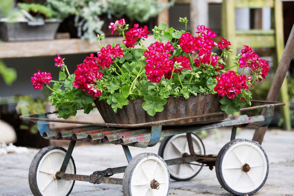 Styling ID Tips en Trends Kweek een bloemenparadij met Geraniums 2
