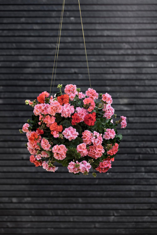 Styling ID Tips en Trends Kweek een bloemenparadij met Geraniums 4